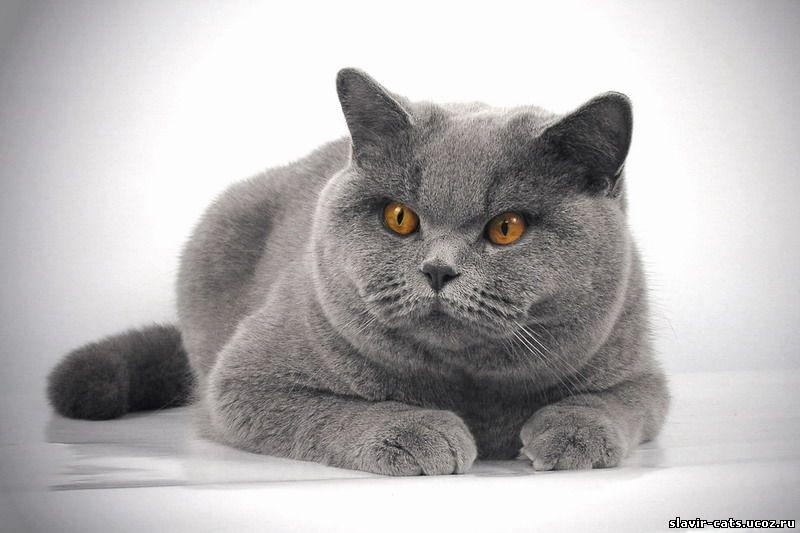 http://slavir-cats.ucoz.ru/cats/Danv/3_Danvill_10m.jpg