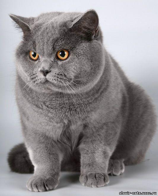 Обои для рабочего стола кошки британские 4