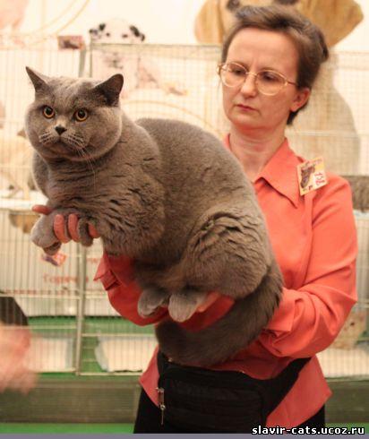 огромный британский кот