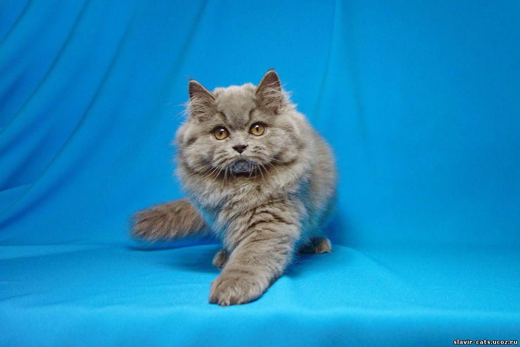 фото британского котенка 3 месяца