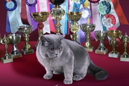 Британский кот Макинтош